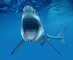 ashley ladd sharks (2)
