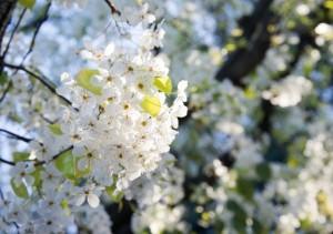 DENA blossoms-1366734549IH6