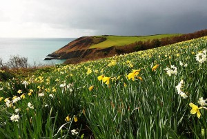 Daffodils at Broom Parc, Nare Head, Cornwall.