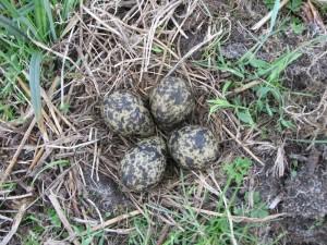 julia walden 6406_Lapwing eggs in nestxx